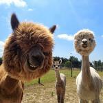 """Автобусная экскурсия на ферму перуанских альпак """"Пушистое чудо"""" фото"""